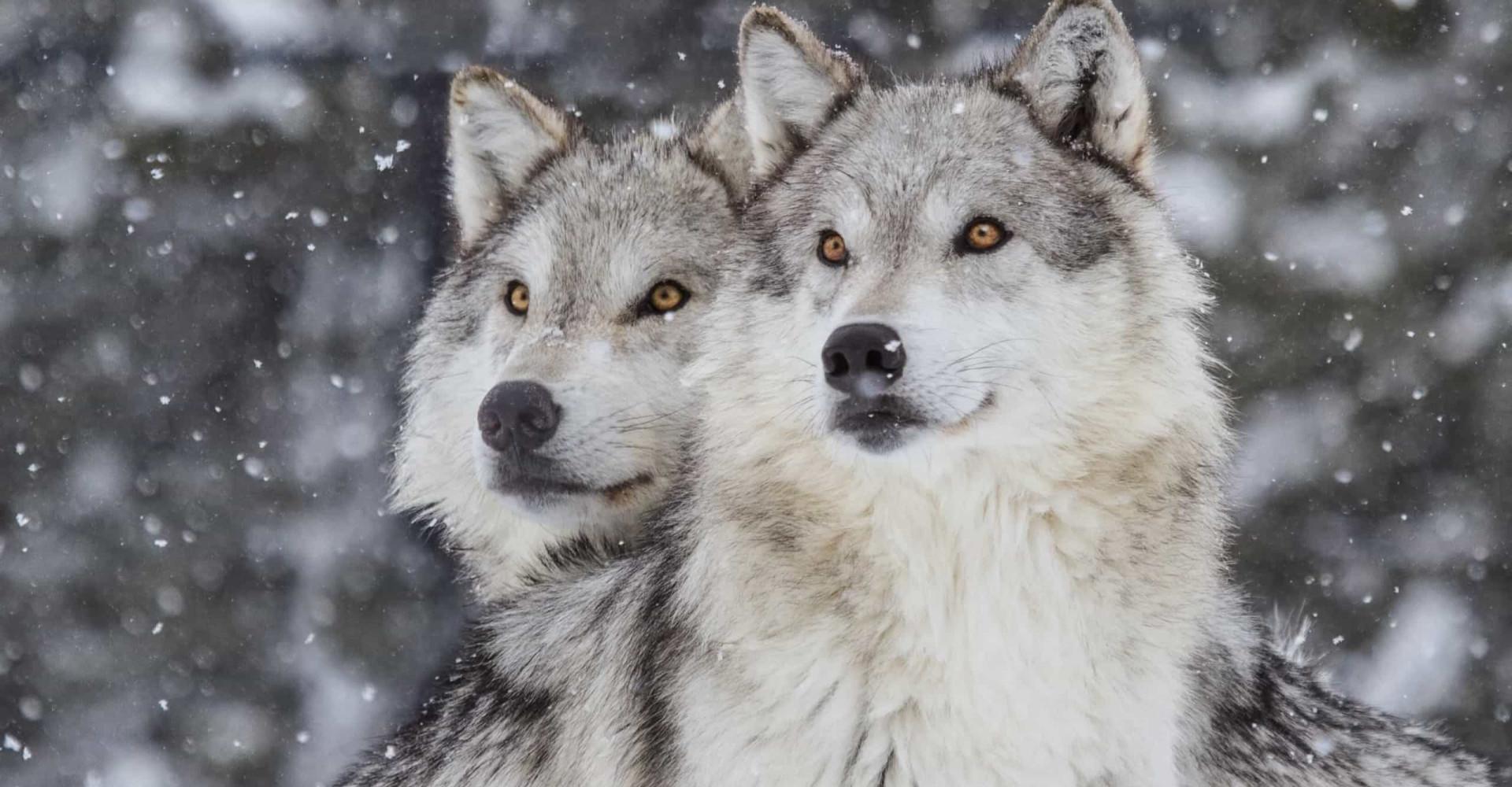 야생의 로맨스, 평생 짝을 지어 사는 동물들