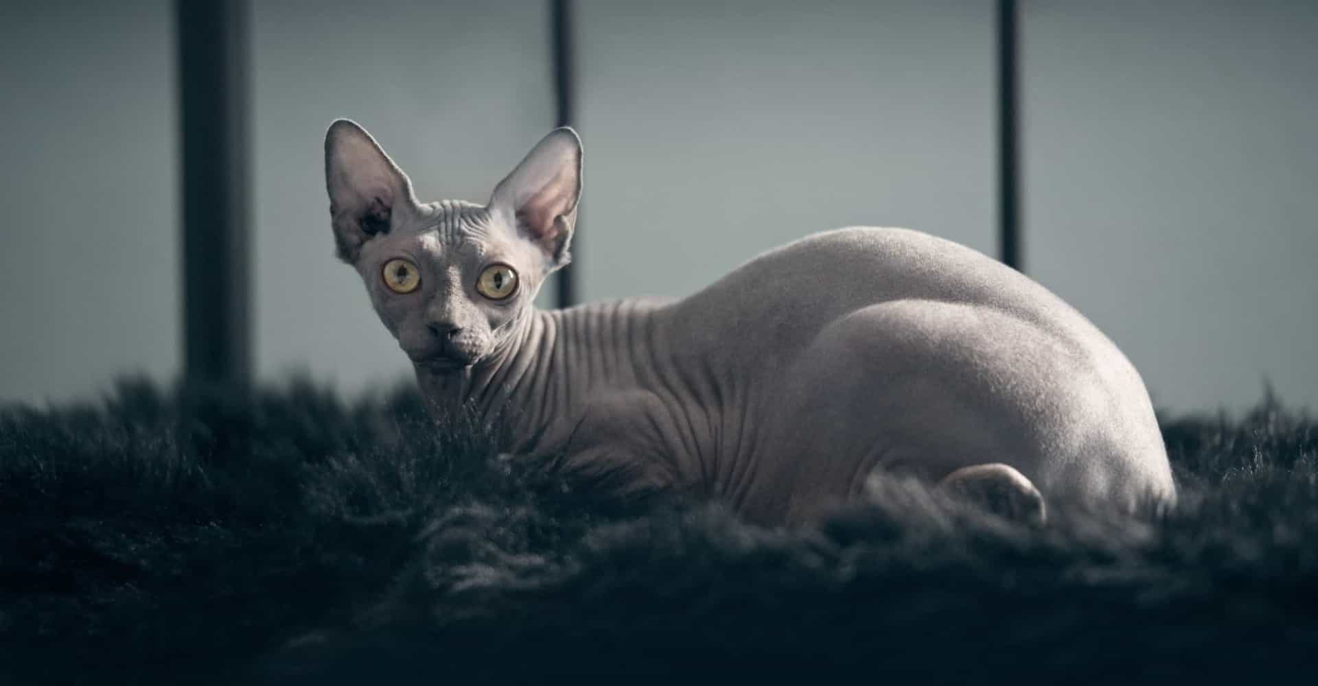 These exotic cats make the purrfect pets