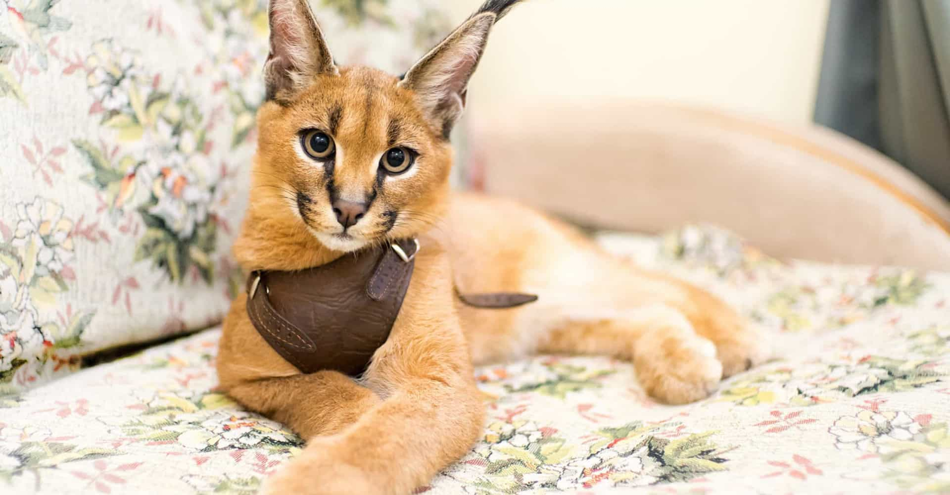 The world's most expensive cat breeds