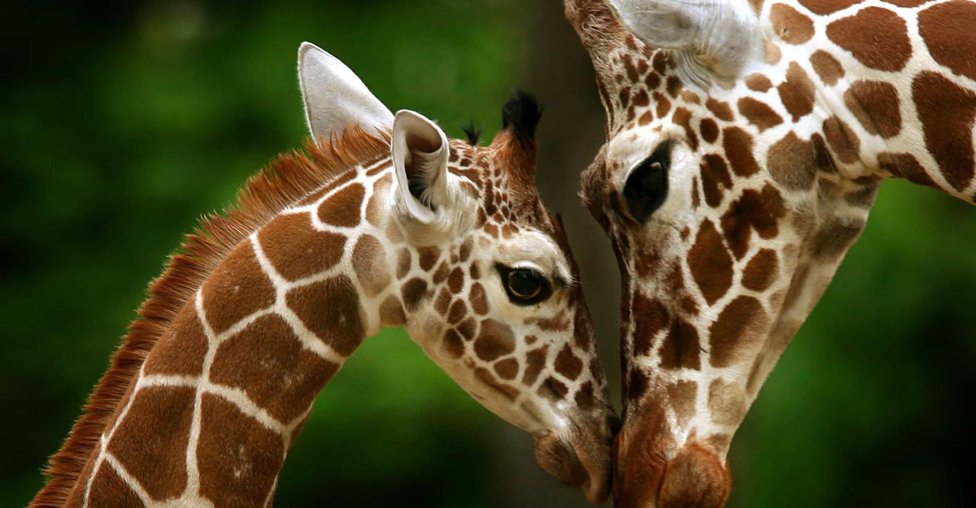 Mammakärlek: Underbara bilder på djurmammor och deras bebisar