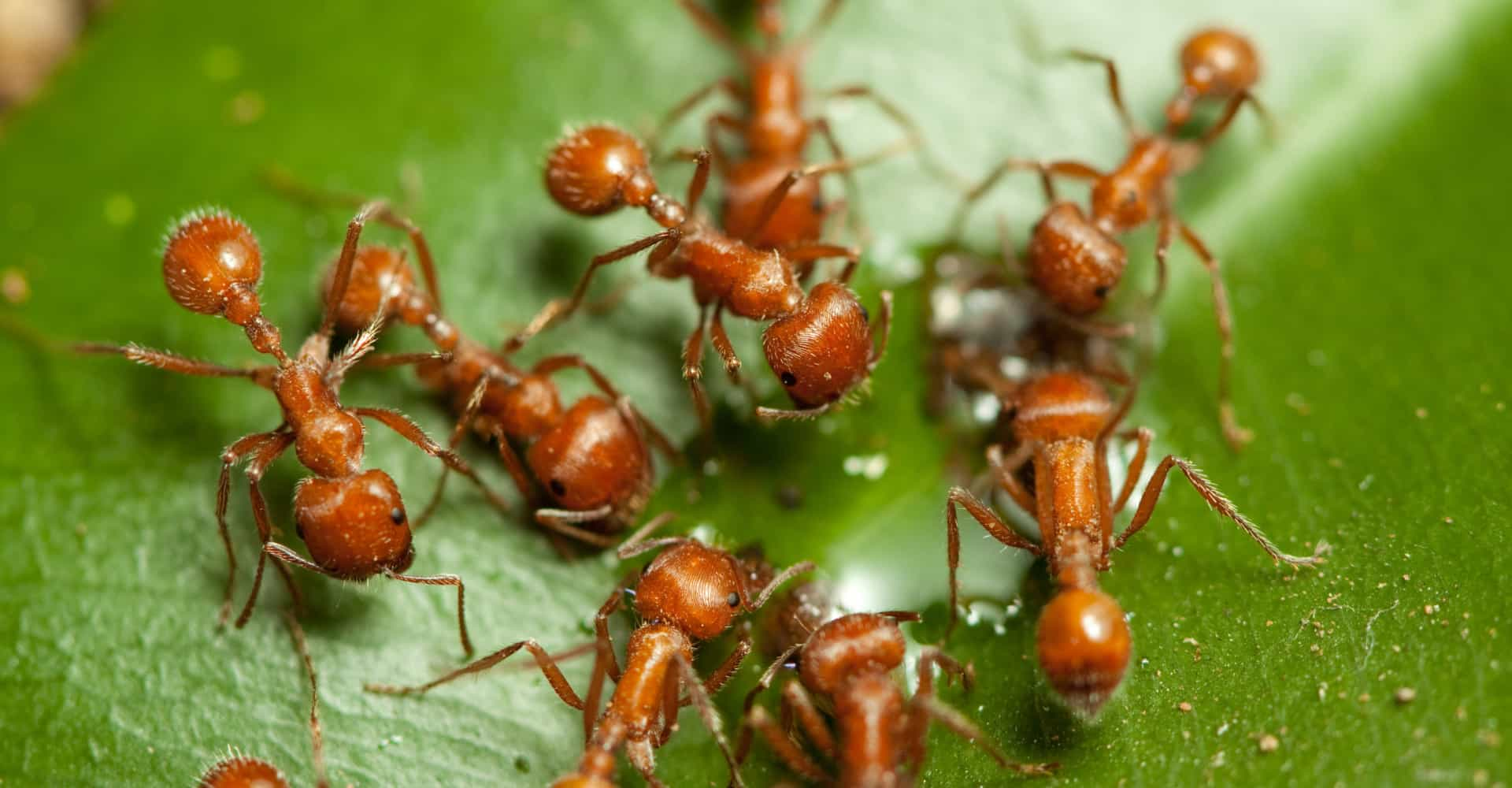 "Fire ant invasion threatens Australian ""way of life"""