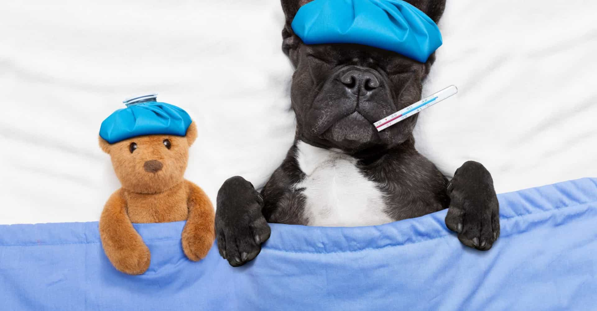 Sjukdomar som i värsta fall kan döda din hund