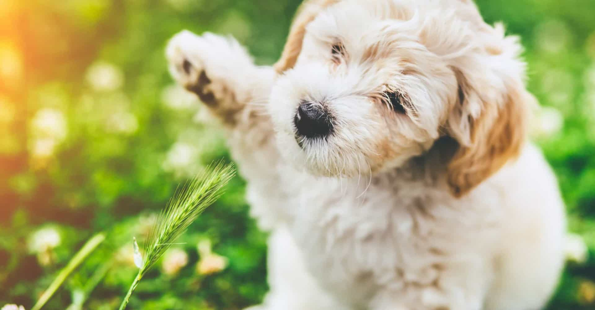 55 hypoallergenic dog breeds for a fur-free home