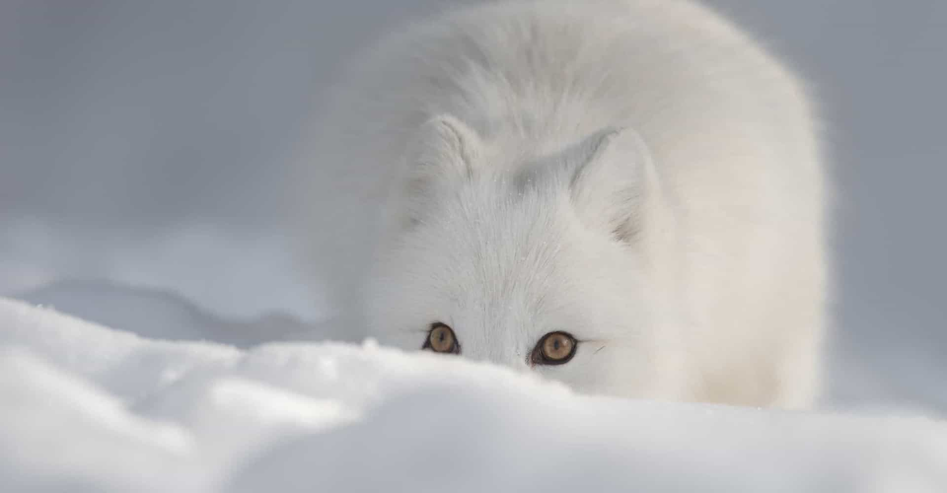 The majestic animals that call the Arctic home