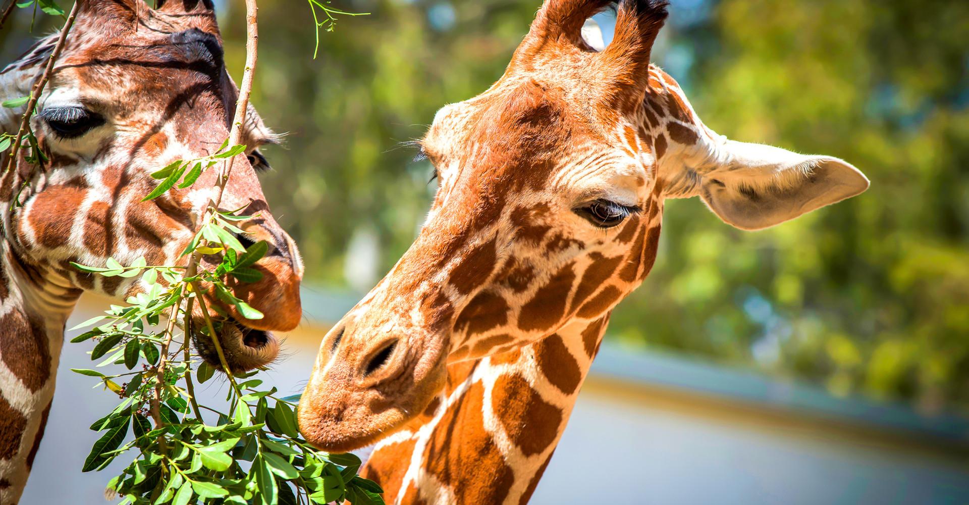 Wakker worden tussen de giraffen