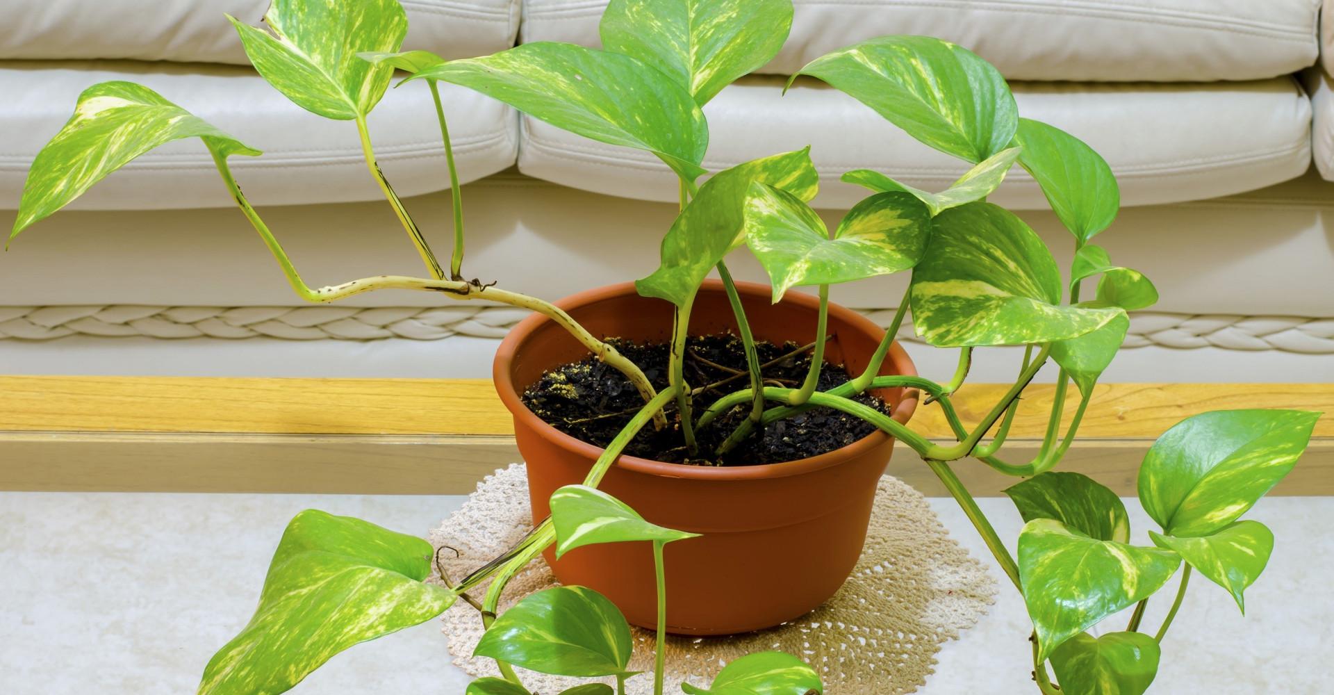 Deze gemodificeerde plant kan de lucht in je huis verschonen