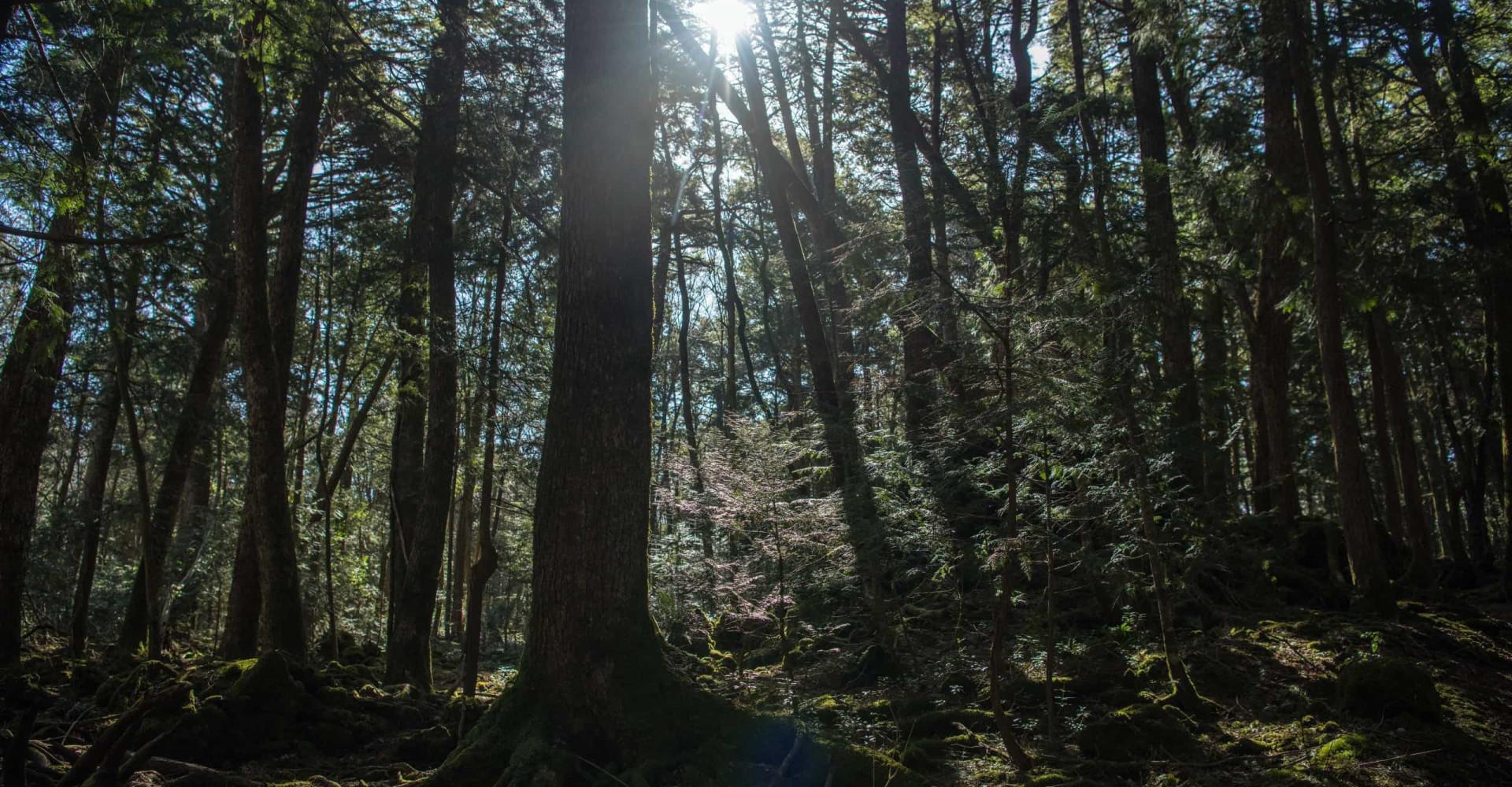 Historien bag Japans selvmordsskov