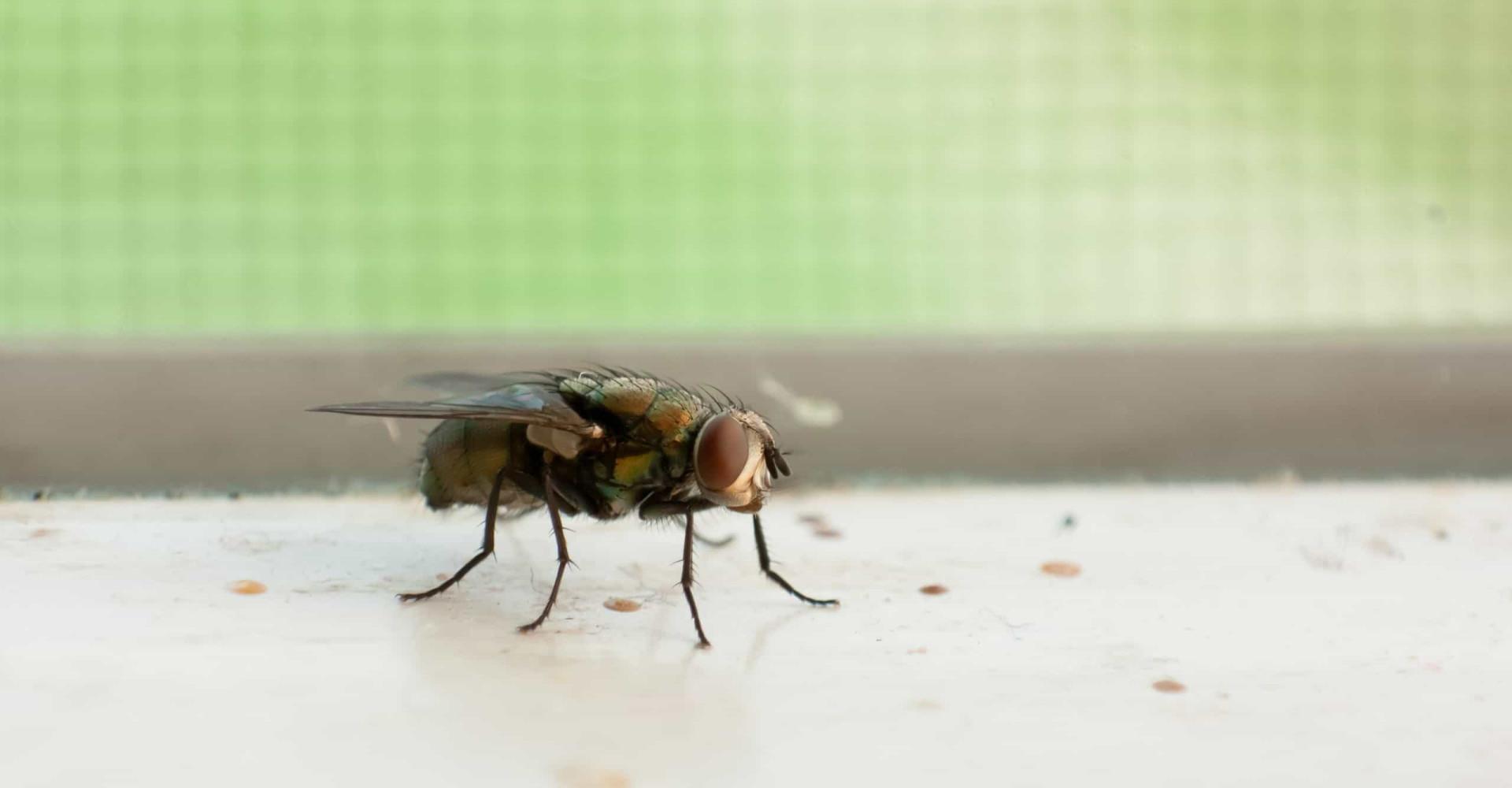 Waarom een vlieg alleen de weg naar binnen weet