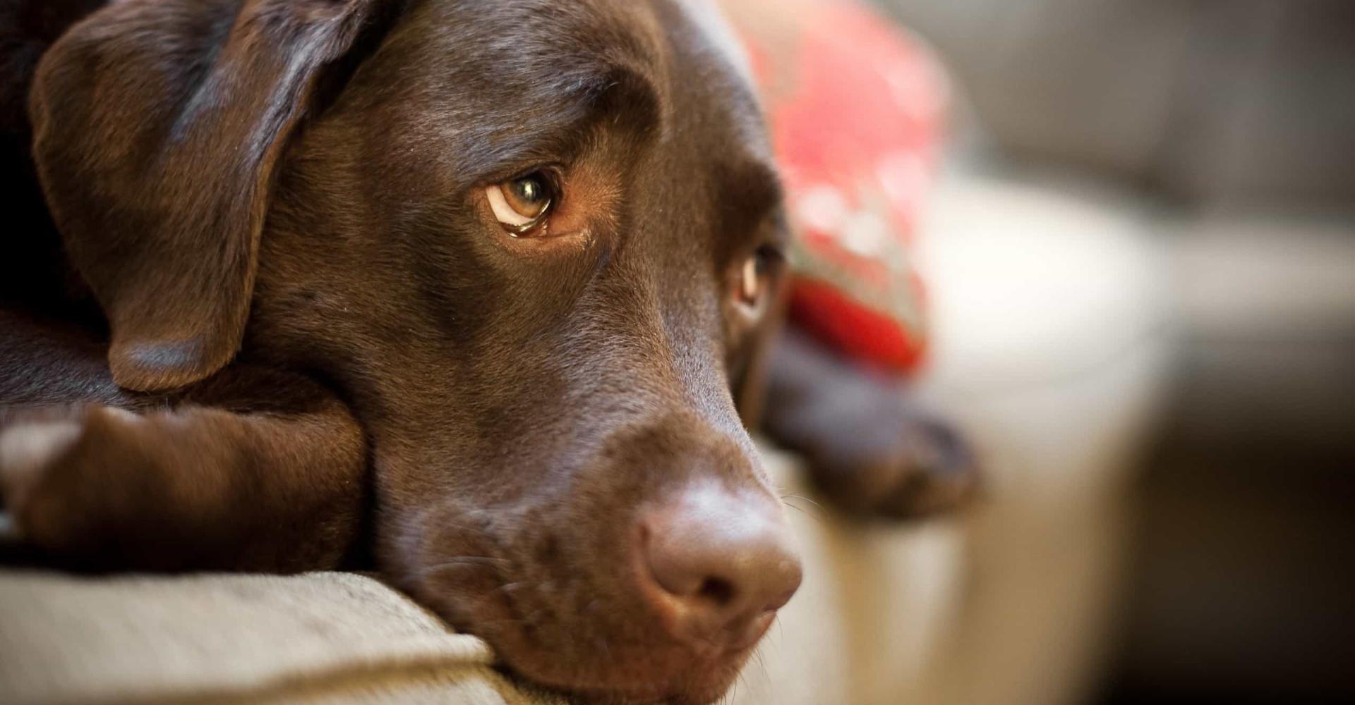 Zo reageer je als je hond chocolade heeft gegeten