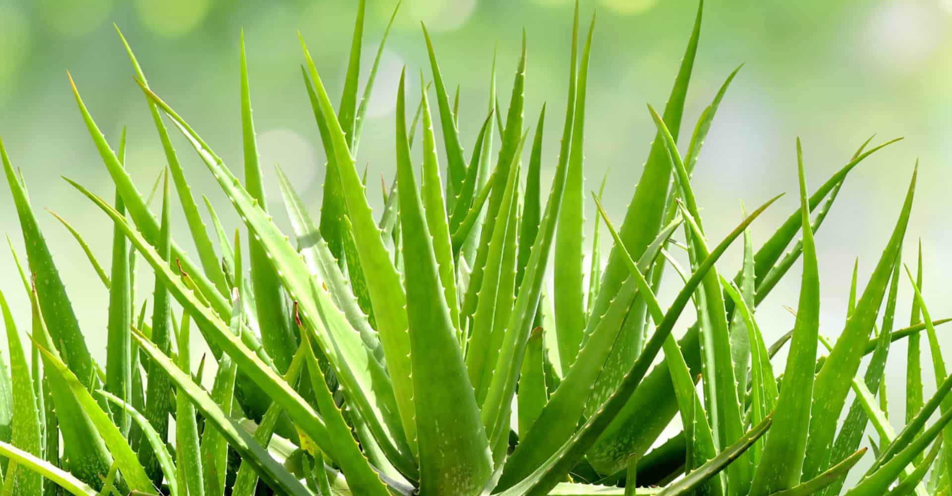 The amazing healing properties of aloe vera