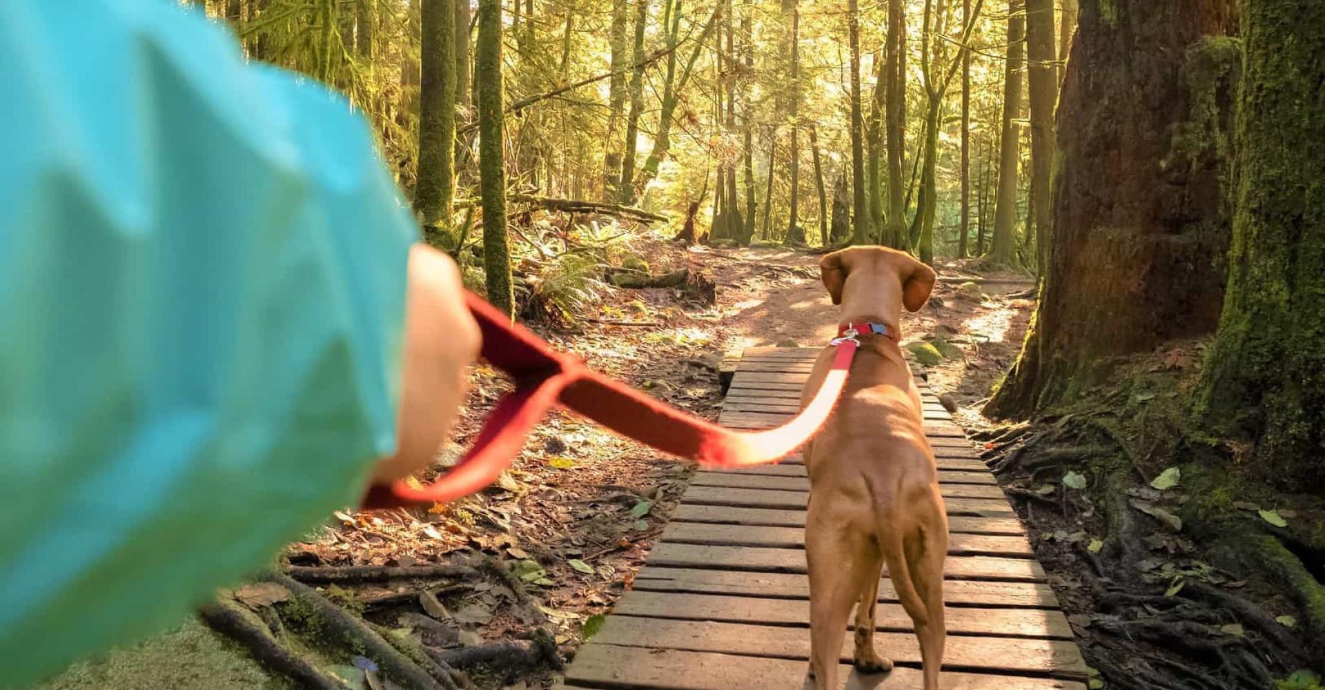 Koiran ulkoilutuksen perussäännöt, jotka jokaisen omistajan tulisi tietää