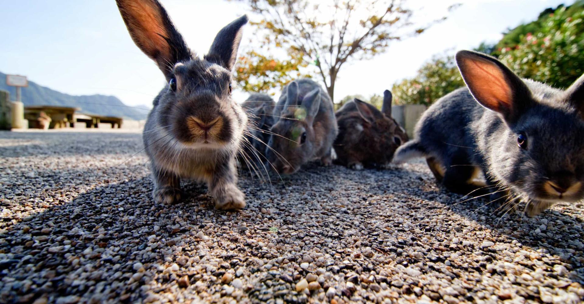 Op dit eiland zijn konijnen de baas