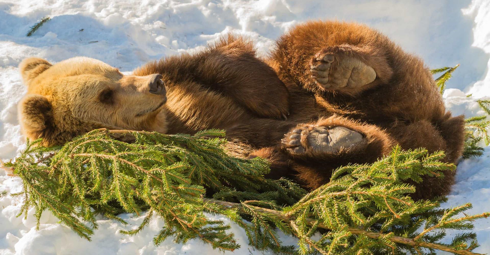 Torkut talven yli: nämä eläimet horrostavat tai nukkuvat talviunta