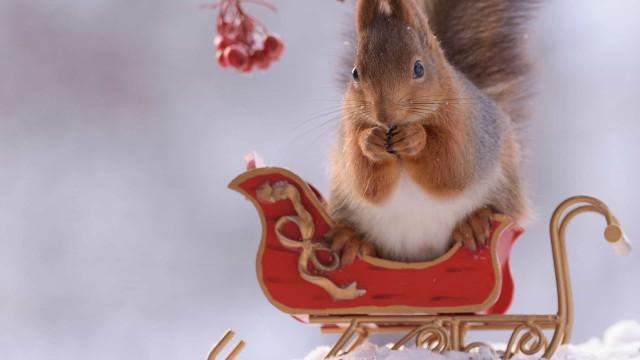 Egern er hovedrollerne i en jule-fotosession!