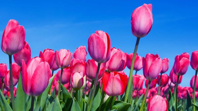 Nederlands erfgoed: De Tulp