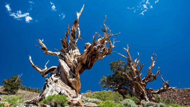 ¡Árboles con más siglos de los que puedas imaginar!
