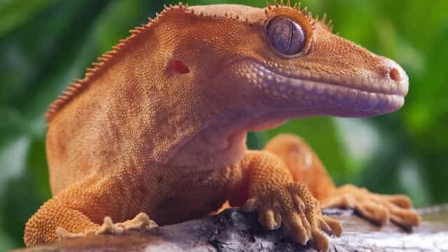Real-life dragons: Pets that look like mythical creatures
