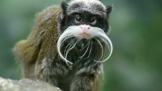 Haarige Trendsetter: Diese Tiere tragen Bart