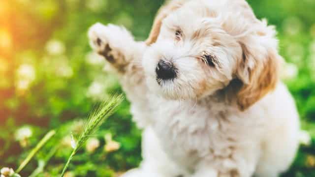 Hypoallergenic dog breeds for a fur-free home