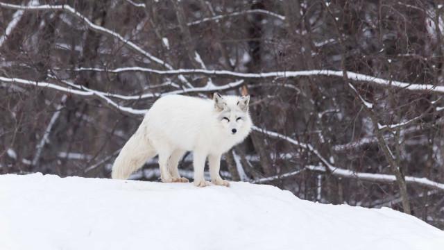 Les majestueux animaux de l'Arctique