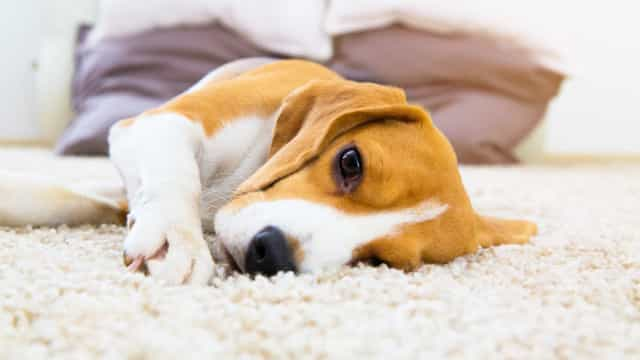 L'Alzheimer nei cani: ecco come riconoscerlo e trattarlo