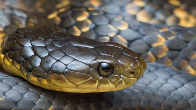 Slithering serpents! Australia's deadliest snakes