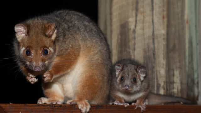 Things that go bump in the night: Nocturnal Aussie animals