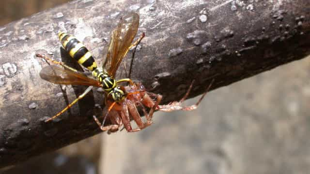 This new wasp species turns spiders into zombies