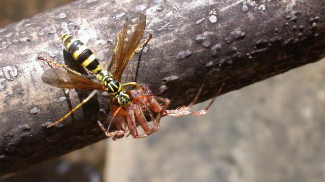 Una nuova vespa trasforma i ragni in zombi