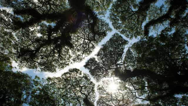 Trees avoid touching? The stunning mystery of crown shyness