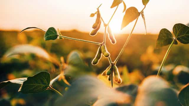 Is soybean really that good for you?