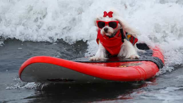 Woofs and waves: Ridiculously cute photos of surfing dogs