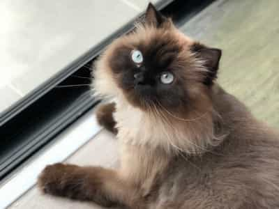The World S Most Expensive Cat Breeds
